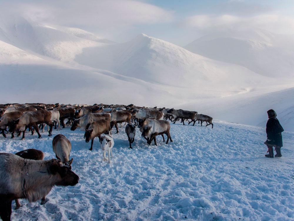 Стадо северных оленей в горах