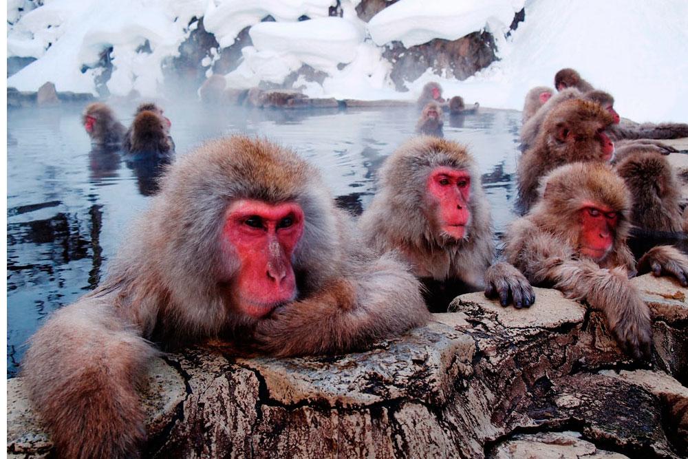 Снежные макаки, Япония