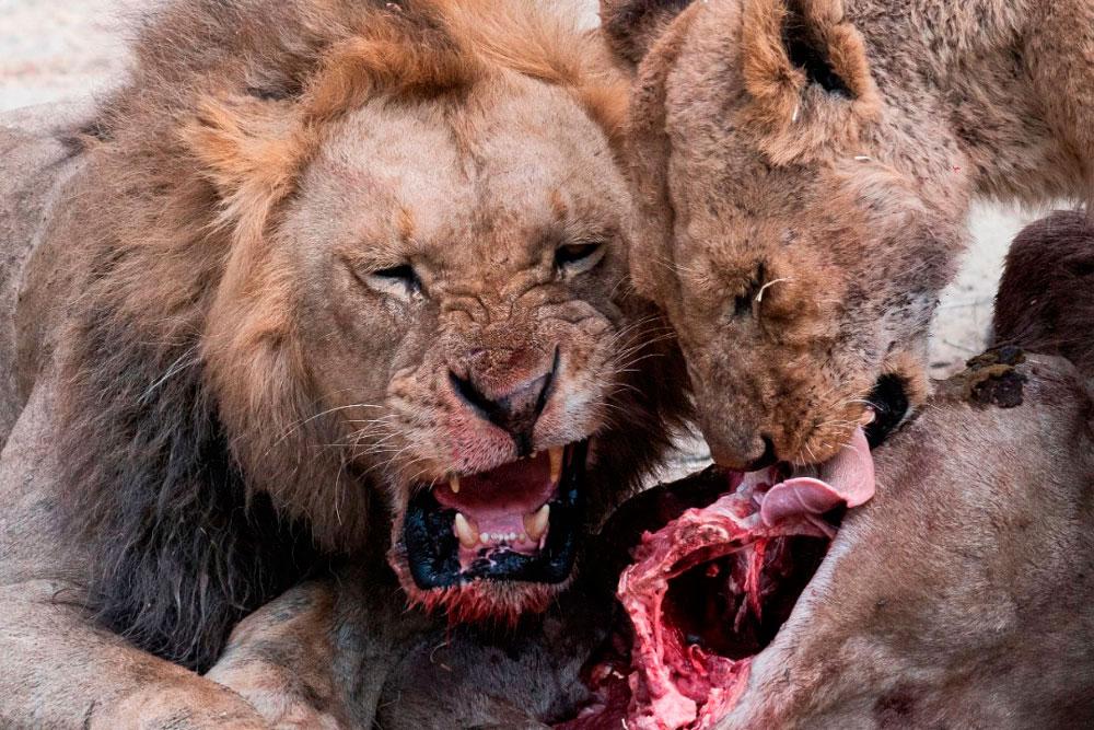Львы за трапезой